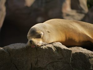 seal-1096982_640