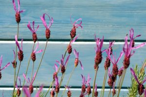 lavender-1415289_640