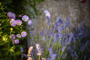 lavender-881361_640