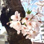 桜シーズン限定メニュー2017のお知らせ
